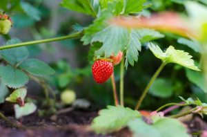Winter Garden Blog - Geographe Landscapes - Fruit tree tips