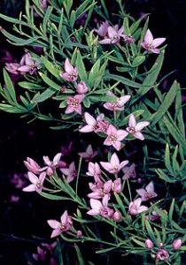 Geographe Landscapes Blog - Boronia bush - Southwest plants
